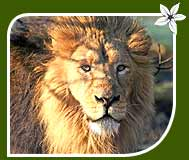 Wildlife Tour of Asiatic Indian Lion