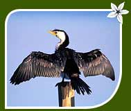 Cormorant Little