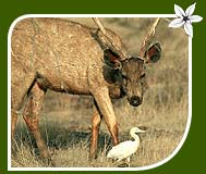 Indian Sambar and White Heron