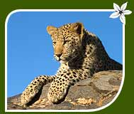 Wildlife Tour of Indian Leopard