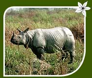 One Horned Indian Rhino