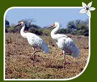Reason For Migration Of Siberian Cranes In India - The Best