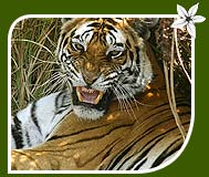 Tiger - Bandhavgarh National Park