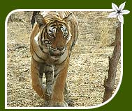 Tiger - Ranthambore National Park